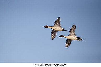 Northern pintail, Anas acuta, two males in flight, ...