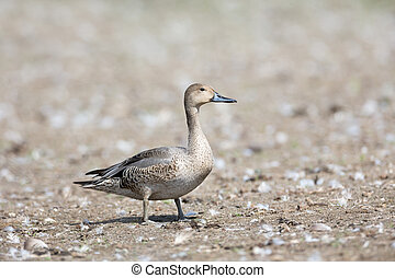 Northern pintail duck at Vancouver BC Canada