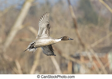 Northern pintail duck in Vancouver BC Canada.