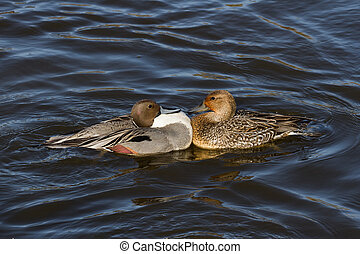 Northern Pintail, male and female