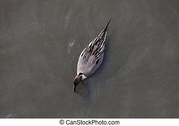 Northern Pintail view from top