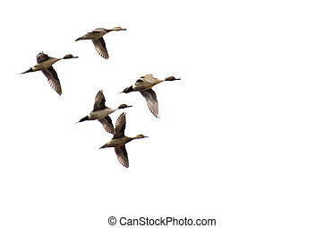 Northern-Pintails Flying on a White Background