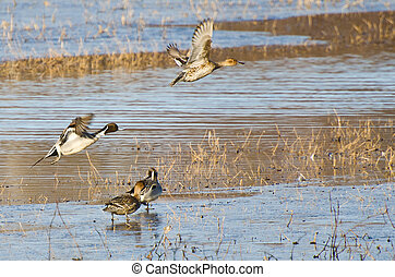 Northern Pintails Taking To Flight Off the Water