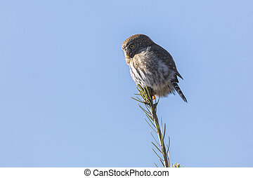 Northern pygmy owl at Chilliwack BC Canada