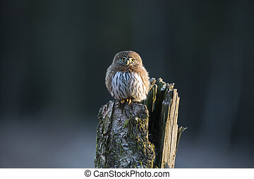 Northern Pygmy Owl resting on a tree log
