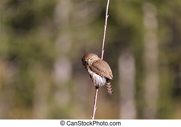 Northern Pygmy Owl resting on a tree branch