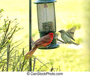 Northern Red Cardinal approached by in flight sparrow at feeder