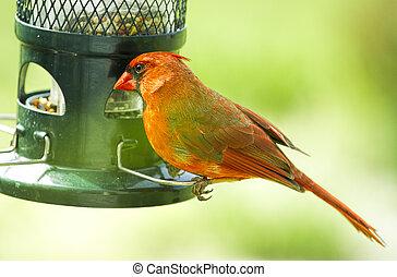 Northern Red Cardinal perched on birdfeeder