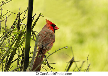 Northern Red Cardinal Perched on Bush