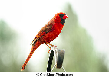 Northern Red Cardinal Proudly Perched on Pole
