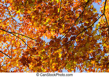 Northern red oak branches with autumn leaves against sky, background