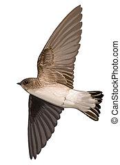 Northern Rough-winged Swallow Stelgidopteryx serripennis