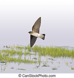 Northern Rough-winged Swallow over marsh Stelgidopteryx...