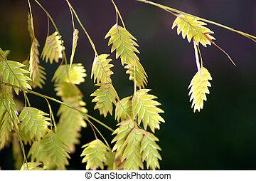 Northern Sea Oats 3 - ornamental grass, sea oats in fall