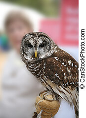 Owl - Northern Spotted Owl with handler