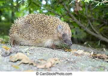 white-breasted hedgehog (Erinaceus roumanicus) - Northern ...