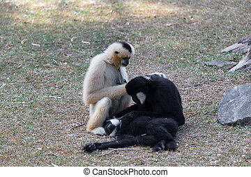 Northern white-cheeked gibbon playing with each other