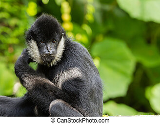 Northern white-cheeked gibbon  portrait