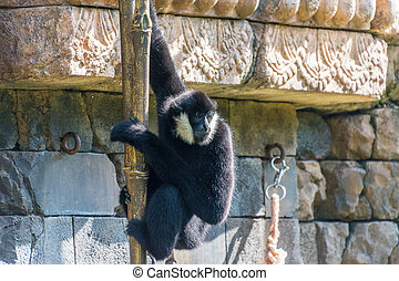 Northern White-Cheeked Gibbon