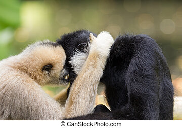 Northern white-cheeked gibbons cuddling - Northern...