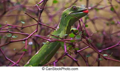 Northland green gecko - A rare Northland green...