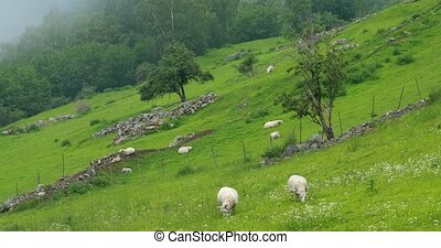 Norway. Domestic Sheep Grazing In Hilly Norwegian Pasture. Sheep Eating Fresh Spring Grass In Green Meadow. Sheep Farming.