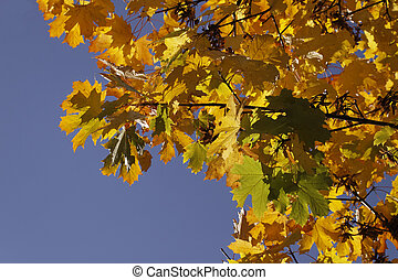 Norway maple, Acer platanoides in autumn, Germany, Europe