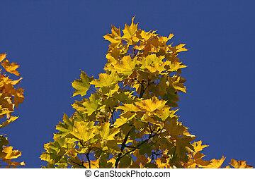 Norway Maple (Acer platanoides) in autumn