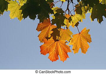 Norway Maple in autum. Acer platanoides
