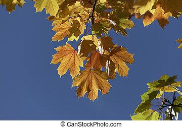 Norway maple in autumn