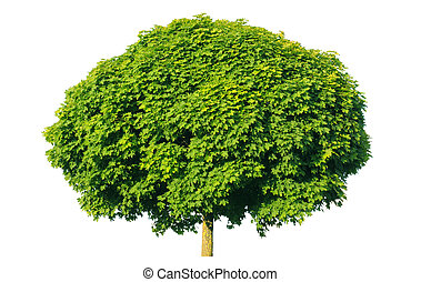 Norway maple(Acer platanoides) isolated on a white background