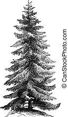 Norway Spruce or Picea abies vintage engraving - Norway...