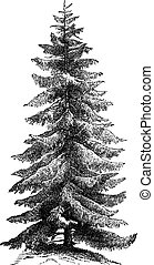 Norway Spruce or Picea abies vintage engraving - Norway...