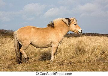 Norwegian Fjord Horse in dune area