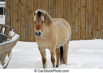 Norwegian Fjord Horse Standing In Front Of Barn In Snow