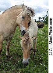 Norwegian Fjord Horses Feeding On Grass