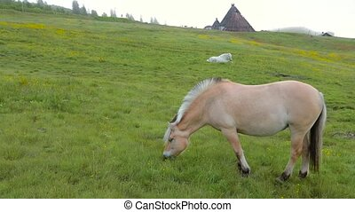 Norwegian Fjord Horses - Fjordings. Norwegian horse in the...