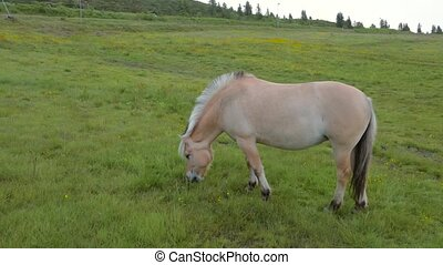 Norwegian Fjord Horses - Fjordings. Norwegian horse in the...
