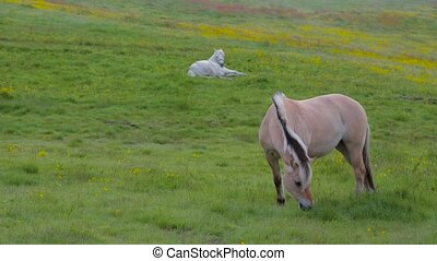 Norwegian Fjord Horses - Fjordings