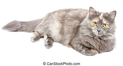 Norwegian Forest Cat lies on white background