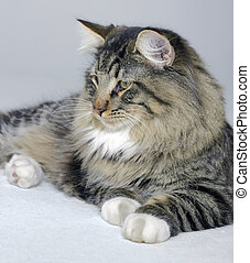 Norwegian Forest cat - young Norwegian Forest Cat resting on...