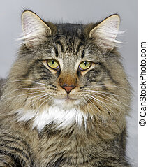 Norwegian Forest Cat portrait - portrait of a Norwegian...