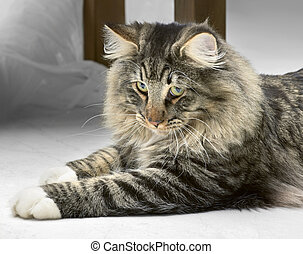 Norwegian Forest Cat resting on the ground