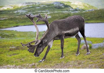 Norwegian reindeer eating grass in the meadow