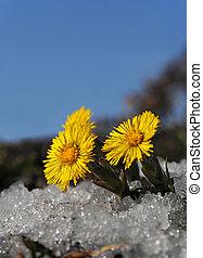 Norwegian springtime, Coltsfoot in snow.