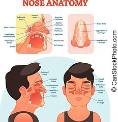 Nose anatomy medical vector illustration diagram. - Nose...