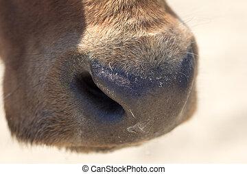 nose., macro, vache