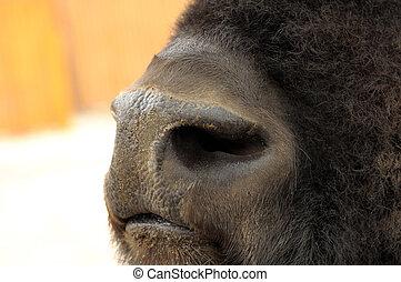 Nose of bison.