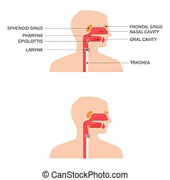 nose, throat anatomy