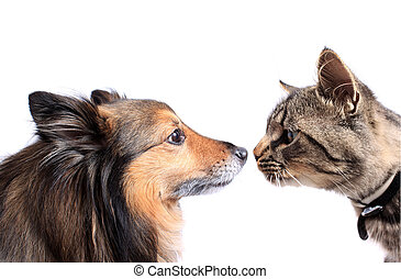 Nose to nose cat and dog - Maine Coon cat and Sheltie dog...